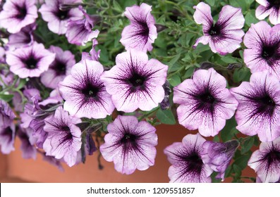 Petunia plant with pink flowers, Petunia exserta