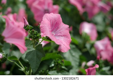 Petunia is a plant that grows in floriculture.