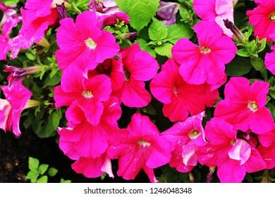 a Petunia Plants