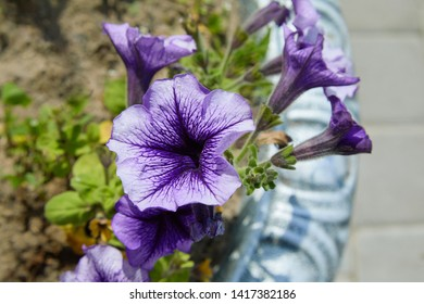 Petunia Pleasantly Blue Fusables. Large lilac petunia flower (Petunia Grandiflora, Daddy petunia). Lots of beautiful flowers in the garden.