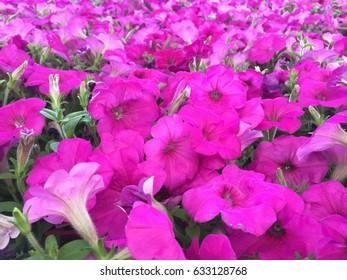 Petunia plethora