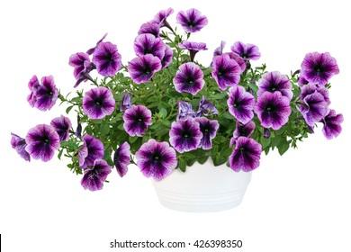 petunia pot isolated on white background