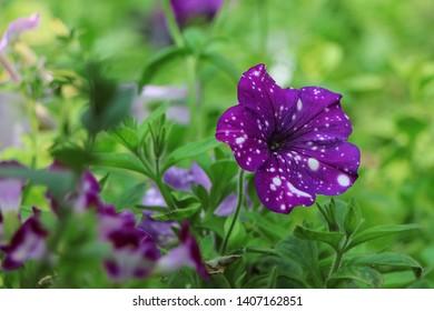 petunia purple sky surfinia flower