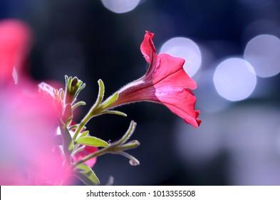 petunia red flower