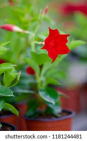 Petunia in the seedling pot. Blooming red Petunia with buds and green leaves (Petunia hybrida) flower beds. Garden. Top view. Focus concept
