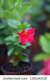 Petunia in the seedling pot. Flower of red Petunia with green leaves (Petunia hybrida) Flower beds. Garden. Top view.Focus concept