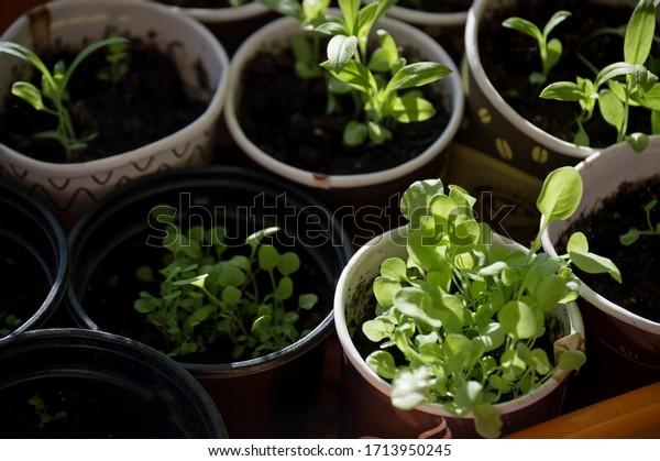 petunia-seedlings-pots-young-green-600w-