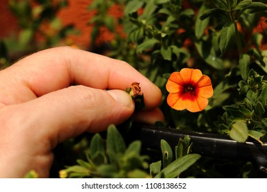 Petunia trailing, Calibrachoa Can Can Coral Reef, man dead heading picking off dead flowers with his hands