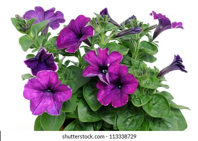 Petunia is a trumpet shaped, widely-cultivated genus of flowering plants of South American origin