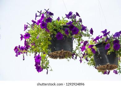 Petunia ,Petunia and white background,Petunia in the pot,Close Up of Petunia flower.