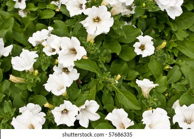 Petunia is a widely-cultivated genus of flowering plants of South American origin, closely related with tobacco, cape gooseberries, tomatoes, deadly nightshades, potatoes and chili peppers