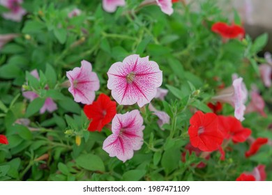 petunia,one of the flowers lovers popular with its unique shape, bright colors and variety, petunia is a very popular potted plant and hanging container that has been in many seasons.