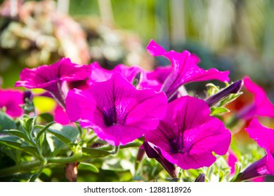 Petunia,Petunia and blurred background,Close Up of Petunia flower.