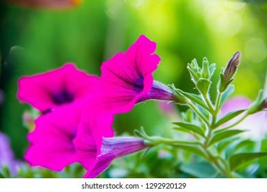 Petunia,Petunia and blurred background,Close Up of Petunia flower.