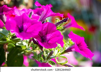 Petunia,Petunia in the garden,Petunia in a pot,Petunia and blurred background,Close Up of Petunia flower.