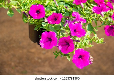 Petunia,Petunia in the garden,Petunia in a pot,Petunia and blurred background,Close Up of Petunia flower