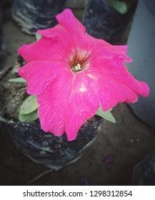 Petunia,Petunia in the garden,Petunia in a pot,Petunia and blurred background,Close Up of Petunia flower - Image