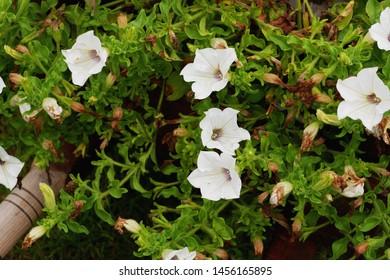 Petunia,Petunia in the garden,Petunia in a pot,Petunia and blurred background,Close Up of Petunia flower.