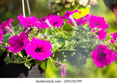 Petunia,Petunia in a pot,Petunia and blurred background.