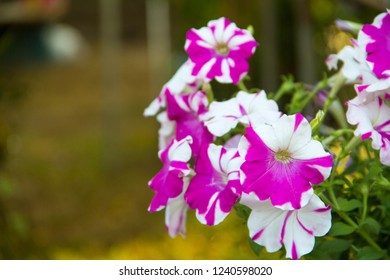 Petunia,Petunia in a pot,Petunia in the garden,Petunia flower and blurred background,