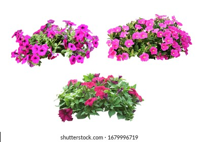 Petunias, colorful flowers, isolated on a white background. Clipping path