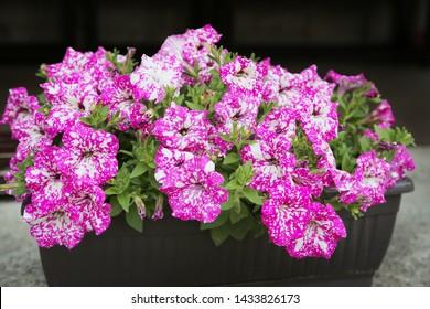 Petunias, colorful petunia flower (Petunia hybrida). Flowers petunia background texture, pattern