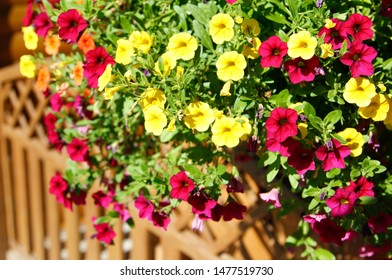 Petunias, colorful petunia flower (Petunia hybrida). Flowers petunia background texture, pattern. for postcards, brochures about gardening and landscape design. For the design of chancellery