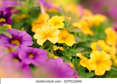 Petunias in Floral Detail Background Image Beautiful petunia flowers wallpaper