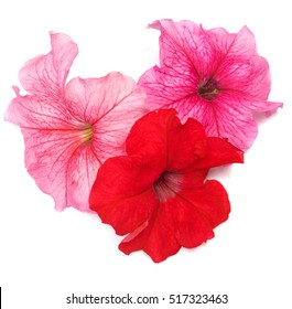 Petunias flower of red and pink color isolated on white.