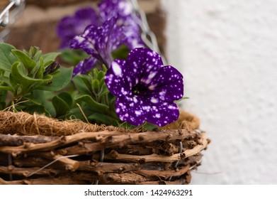 Petunias night sky flower. Purple flower with white spots.