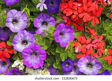 petunias and pelargoniums