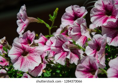 ฺBeautiful petunias (Petunia hybrida) flowers is blooming for lover.Pink petunia floras in the garden in spring time. Shallow depth of field.