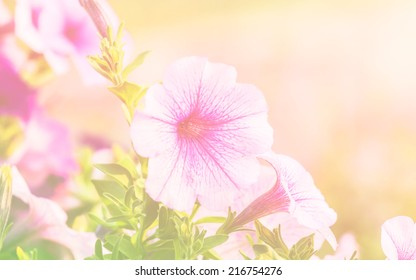 petunias in soft color for background