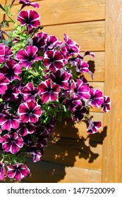 Petunias, violet petunia flower (Petunia hybrida). Flowers petunia background texture, pattern. for postcards, brochures about gardening and landscape design. For the design of chancellery