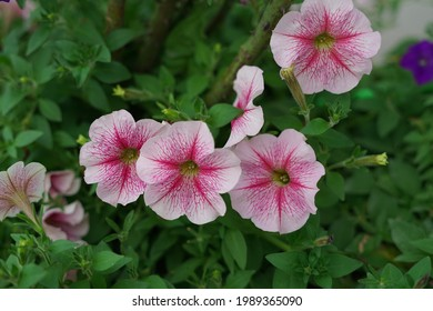 petunia(soft focus)is one of the flowers lovers popular with its unique shape, bright colors and variety, petunia is a very popular potted plant and hanging container that has been in many seasons.
