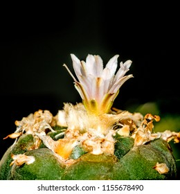 peyote, ritual cactus