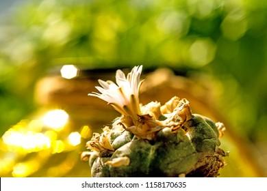 peyote, ritual cactus with flower