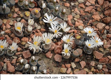 Peyote, a small spineless cactus with psychoactive alkaloids, particularly mescaline, from Mexico