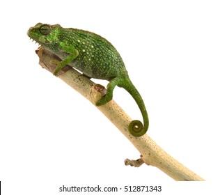 Pfeffer's Chameleon - Female - Trioceros pfeffer