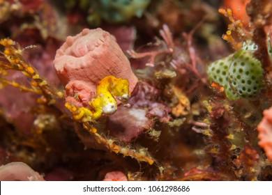 Pgymy seahorse (Hippocampus pontohi)