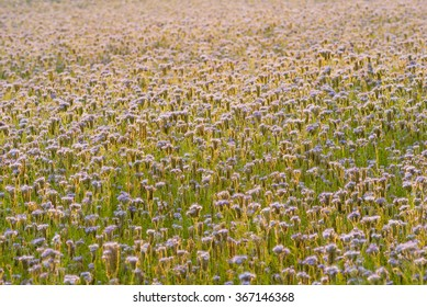 phacelia bee plant fields at sunset