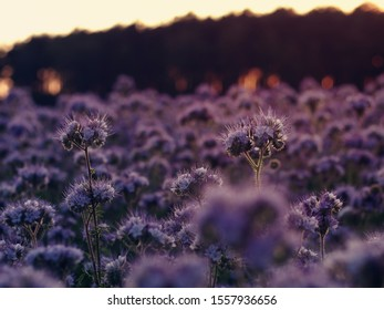 Phacelia field in the evening