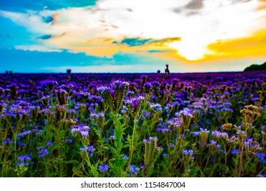 Phacelia field at sunset