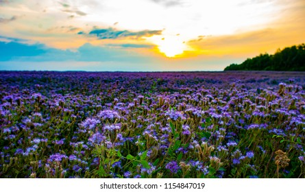 Phacelia field at sunset