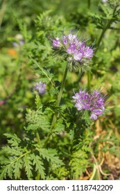 Phacelia is a good melliferous and green enrichment and blooms  in June