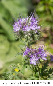 Phacelia is a good melliferous and green enrichment and blooms in summer