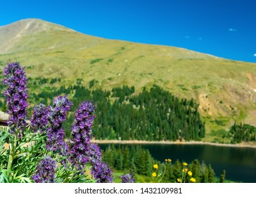 Phacelia Sericea Purple Fringe Flowers by a lake in the Colorado Rockies