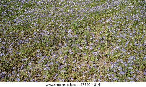 Phacelia tanacetifolia in bloom. Lacy Phacelia is an insectary plant, attracts pollinators such as honey bees and other beneficial insects.