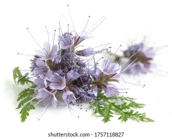 Phacelia (Phacelia tanacetifolia) - honey plant, attractive to bees