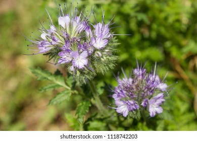Phacelia, which is good melliferous and green enrichment and blooms in summer